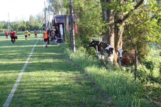 MUUU...eller var det BUUU för Horda. Kossarna på Börjagårdens marker var också besvikna och var på väg att storma planen...